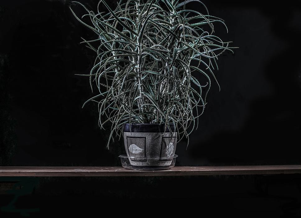 Вазон.   Это растение называется алоэ. Ему тридцать с небольшим лет. Моя жена после нашей свадьбы взяла его у своей мамы. Оно было тогда почти у каждой семьи. Оно лечебное, используется для заживления ран. Очевидно традиция идет с военных времен.