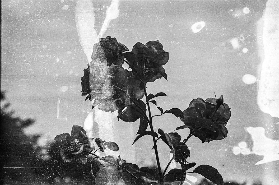 Розы. Середина 80-х